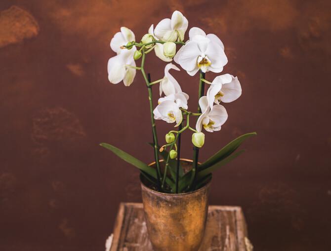 Bild einer weißen Orchidee in einem goldenen Topf, vor einer braunen Wand.
