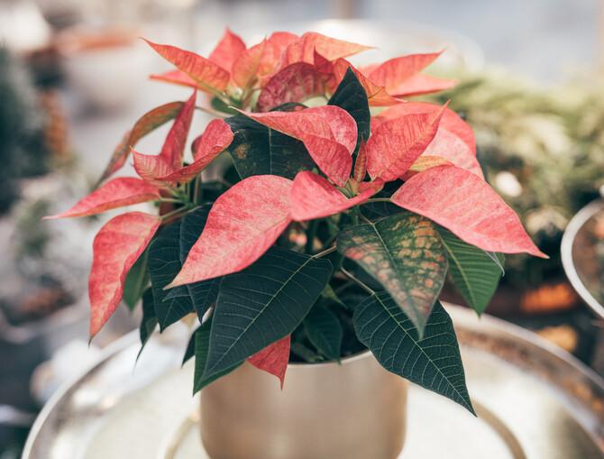 Rötlicher Weihnachtsstern in einem goldenen Topf.